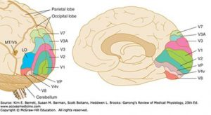 parts of parietal lobe